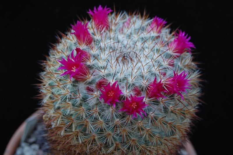 Mammillaria haageana 6138-210