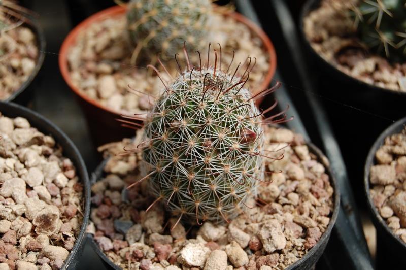 Mammillaria guirocobensis Guiroc10
