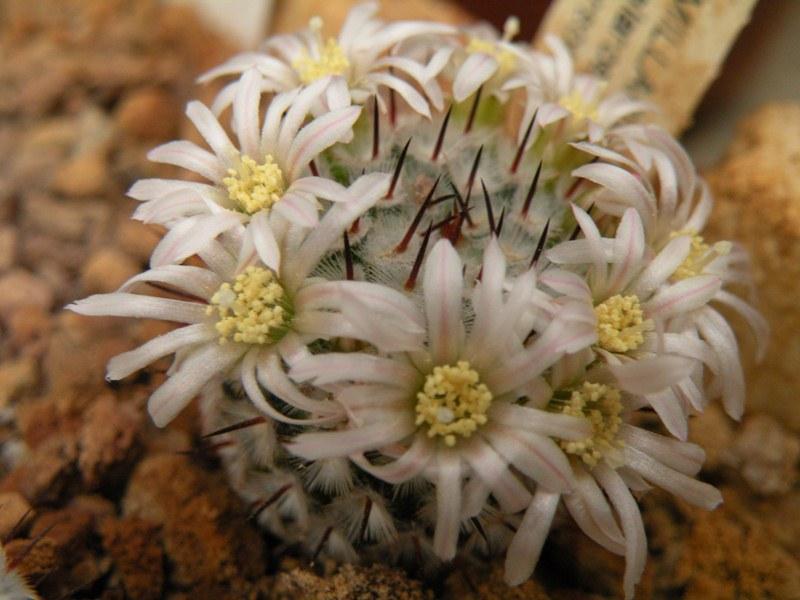 Mammillaria perezdelarosae Perezd10