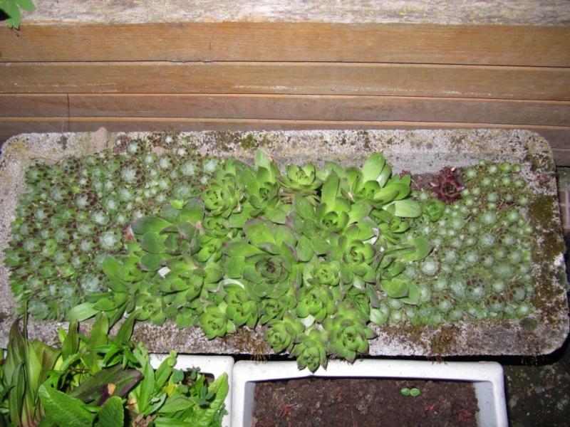 succulente au jardin (sempervivum) - Page 2 00411