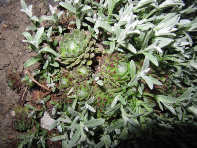 succulente au jardin (sempervivum) - Page 2 01010