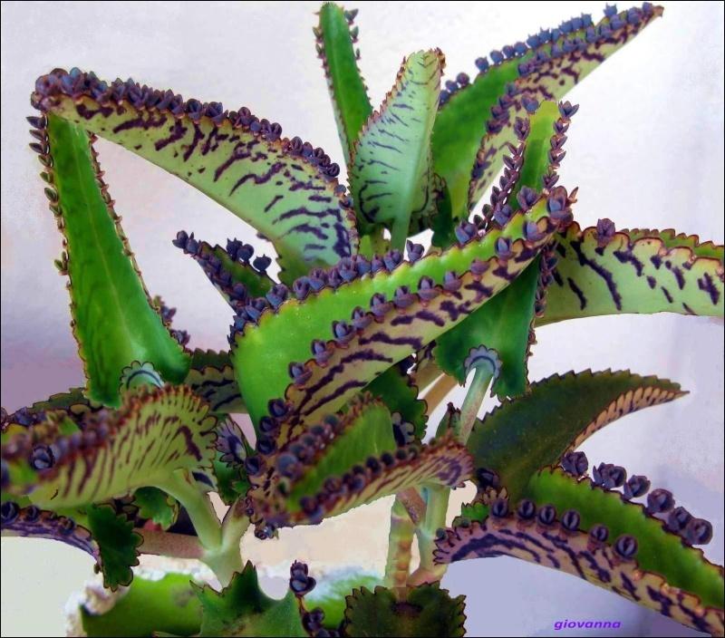 je vous présente la plante mère. Agrandir cette imageRéduire cette image  Cliquez ici pour la voir à sa taille originale.