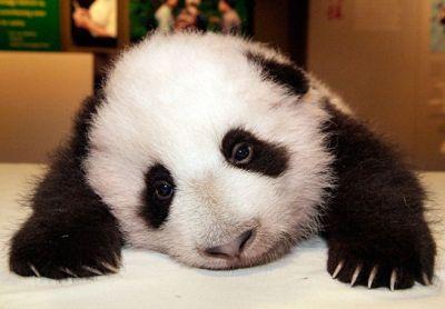 Cazzeggio!!! Panda_10