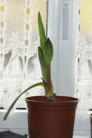 amaryllis Dsc01412