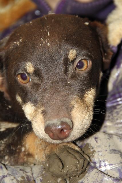 Poucette, femelle x pinscher de 19 mois, oreilles mutilées (Serbie) Img66313