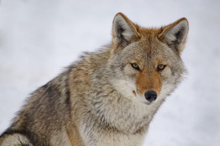 animal totem Coyote10