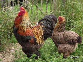 la poule Brahma Brahma11