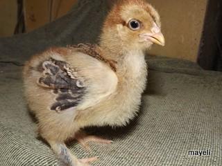 la poule Brahma Brahma12