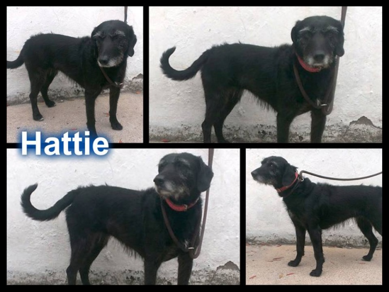 Meet Hattiecross breed new girl PTS day 11 July  SAFE Hattie10