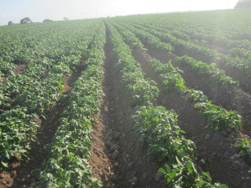 Evolution des cultures de pommes de terre 2013 Loguiv14