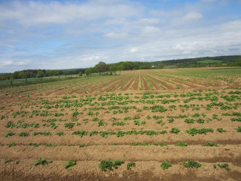 Evolution des cultures de pommes de terre 2013 Patate10