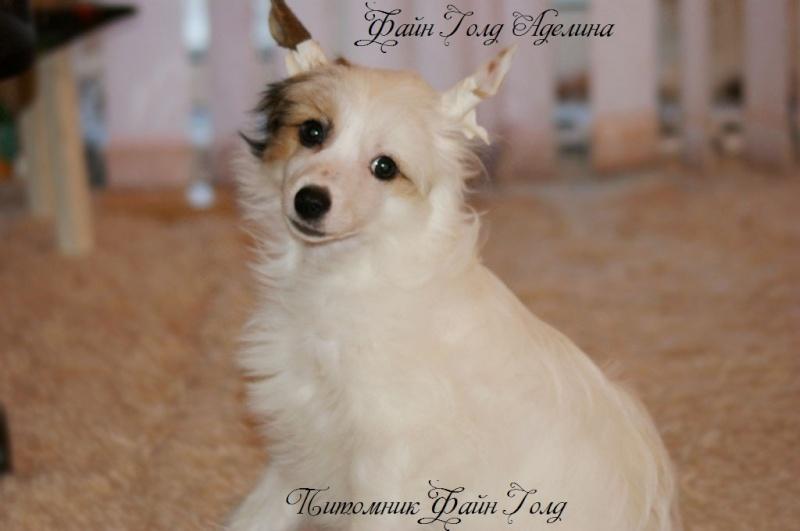 Продаются очаровательные щенки Китайской Хохлатой собаки от титулованных родителей, чемпионов Dsc00910