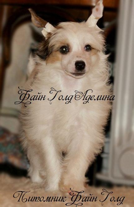 Продаются очаровательные щенки Китайской Хохлатой собаки от титулованных родителей, чемпионов Dsc01010