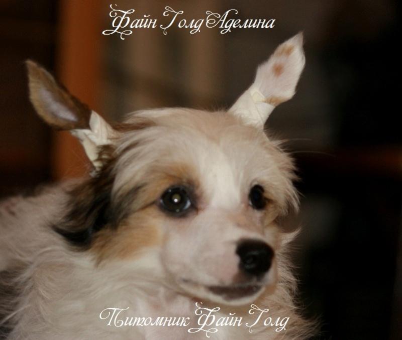 Продаются очаровательные щенки Китайской Хохлатой собаки от титулованных родителей, чемпионов Dsc01011