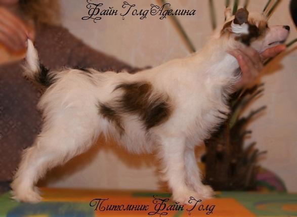 Продаются очаровательные щенки Китайской Хохлатой собаки от титулованных родителей, чемпионов Dsc01012