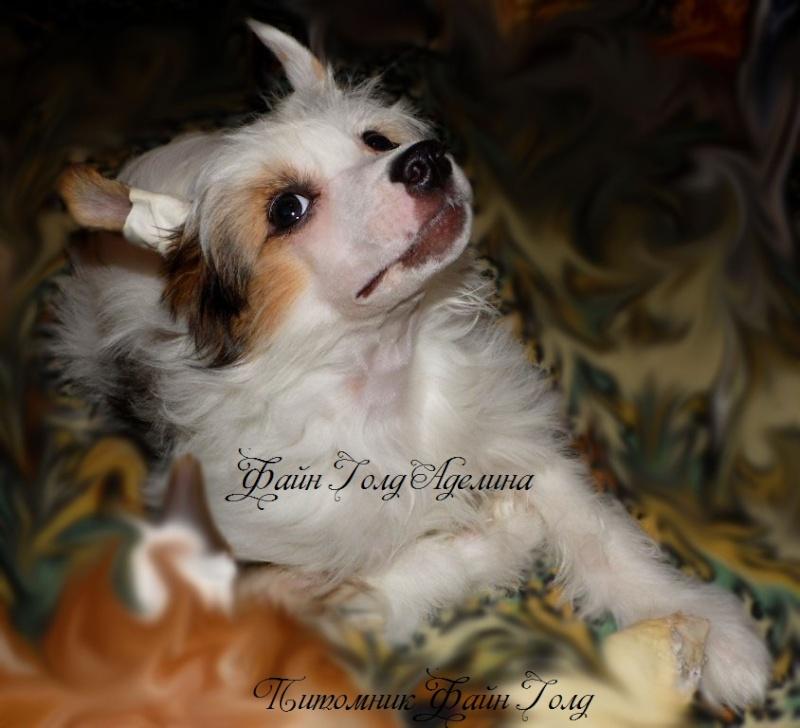 Продаются очаровательные щенки Китайской Хохлатой собаки от титулованных родителей, чемпионов Sam_1011
