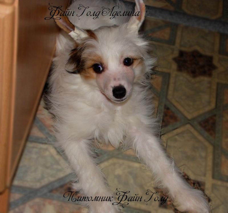 Продаются очаровательные щенки Китайской Хохлатой собаки от титулованных родителей, чемпионов Sam_1012