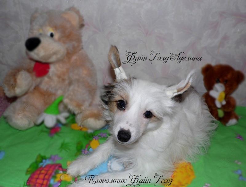 Продаются очаровательные щенки Китайской Хохлатой собаки от титулованных родителей, чемпионов Sam_1013
