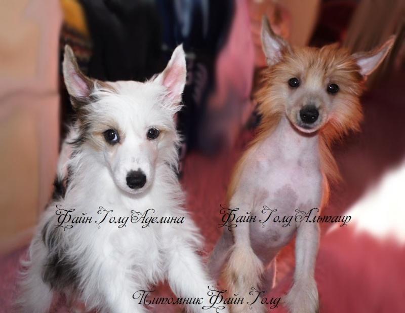 Продаются очаровательные щенки Китайской Хохлатой собаки от титулованных родителей, чемпионов Sam_1316