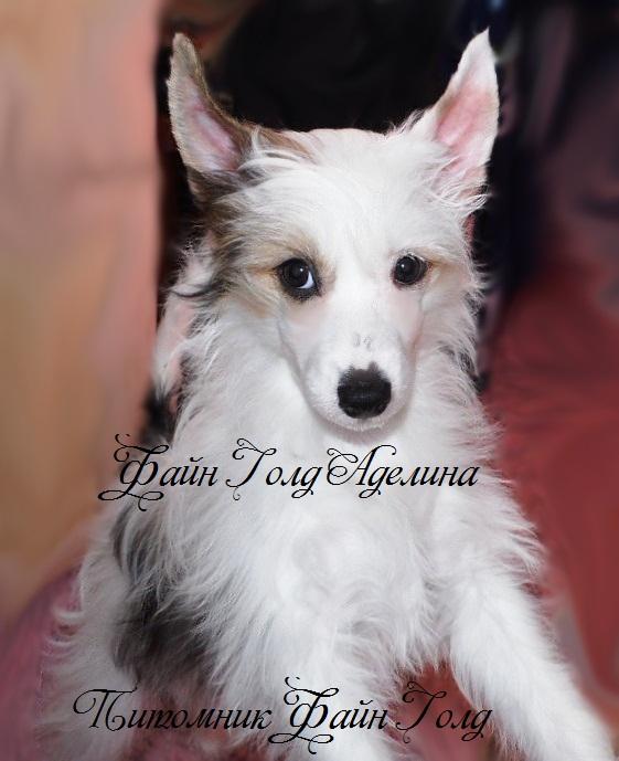 Продаются очаровательные щенки Китайской Хохлатой собаки от титулованных родителей, чемпионов Sam_1317