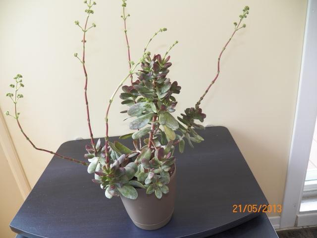 Voici mes 5 nouvelles amies j'adore ce genre de plantes !!! Kodak_26