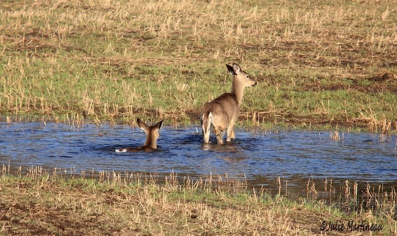 Chevreuil et renard sauvage. Img_2712