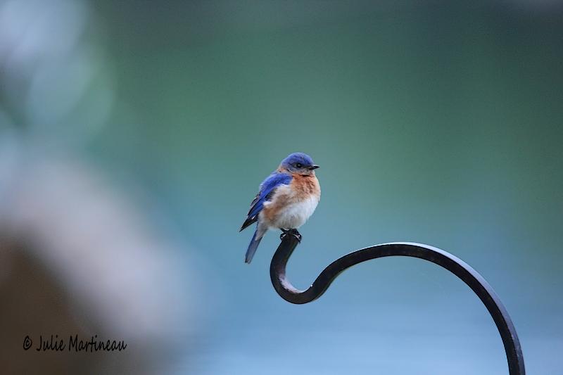 Mouch. phébi, Hirondelle bico et bleu de l`Est Img_5510