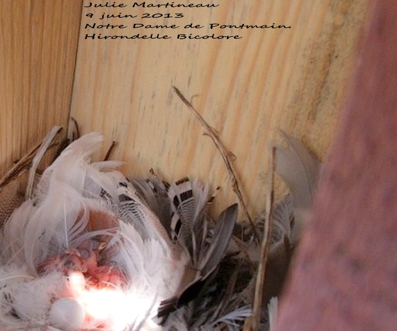 Mouch. phébi, Hirondelle bico et bleu de l`Est Img_5711
