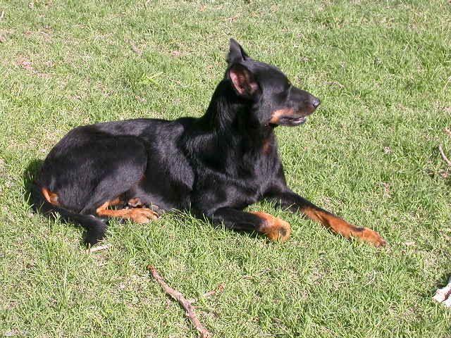 Photo de vos chien noir et beige! Tornad10