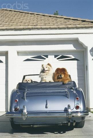animal en voiture / CODE DE LA ROUTE/ R412-1 et R416-6 Chiens10