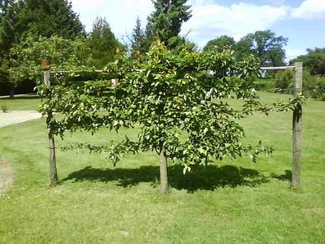 Arbres fruitiers et leur taille - Page 2 2011_711