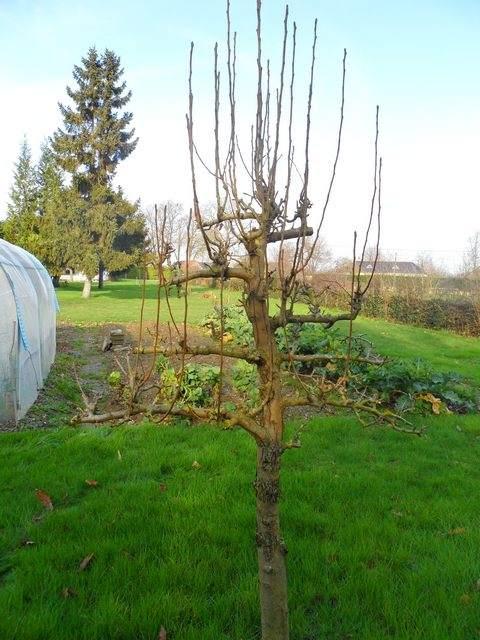Arbres fruitiers et leur taille - Page 2 2012_110
