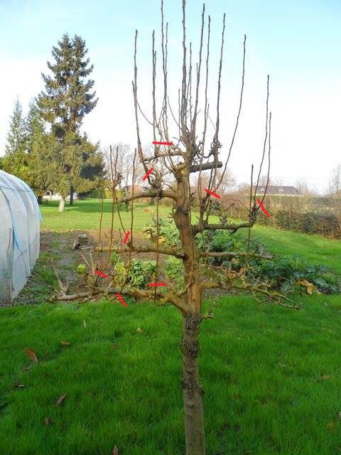Arbres fruitiers et leur taille - Page 2 2012_111