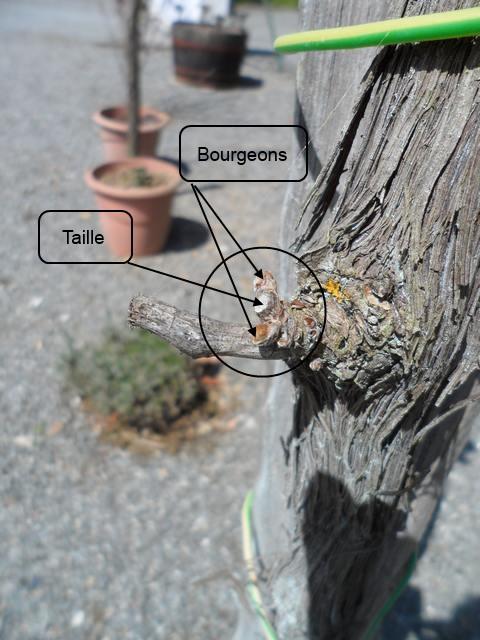 Arbres fruitiers et leur taille 2013_t11