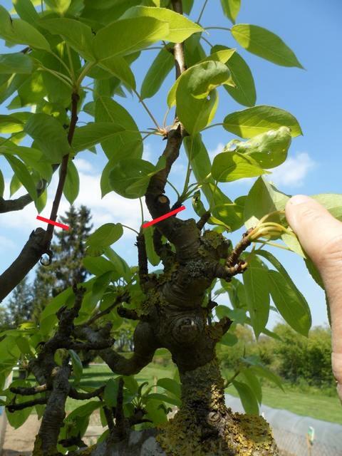 Arbres fruitiers et leur taille - Page 2 2013_t14