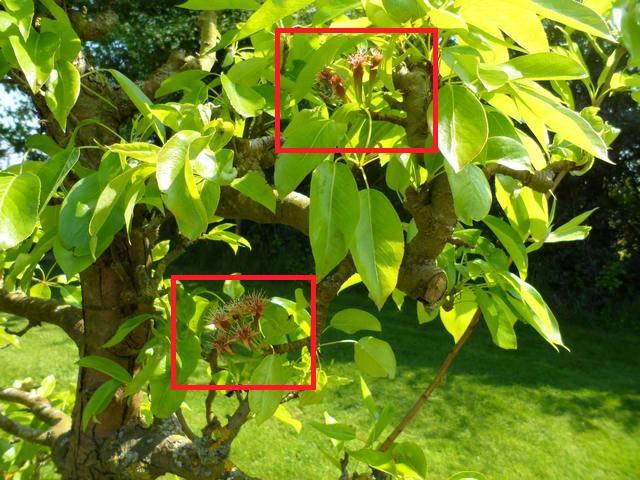 Arbres fruitiers et leur taille - Page 3 2013_t16