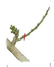 Arbres fruitiers et leur taille - Page 4 510