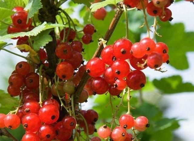 Arbres fruitiers et leur taille - Page 3 Grosei10