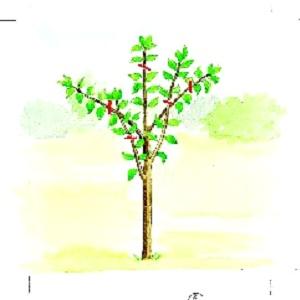Arbres fruitiers et leur taille - Page 3 Sans_t11