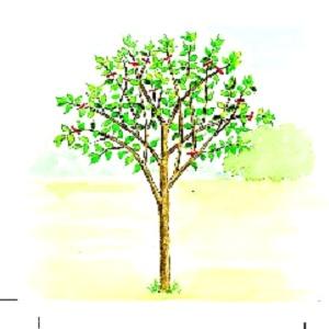 Arbres fruitiers et leur taille - Page 3 Sans_t12