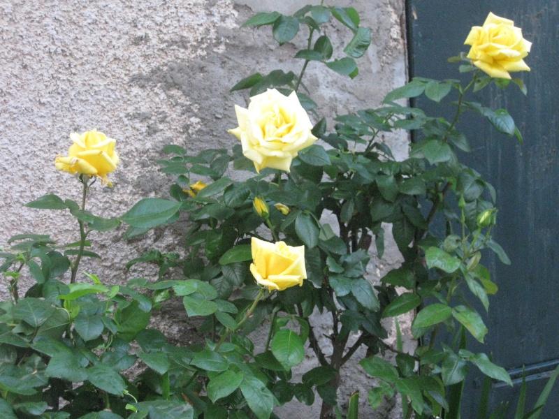 un coin du jardin et quelques rosiers Bleu_023