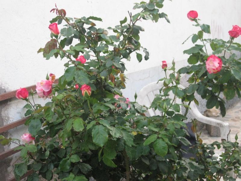 un coin du jardin et quelques rosiers Bleu_025