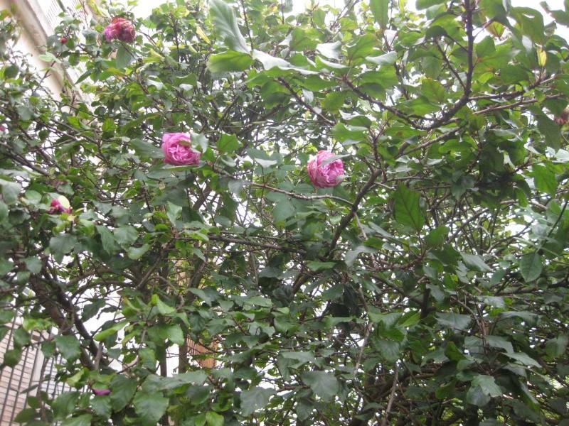 un coin du jardin et quelques rosiers Bleu_026