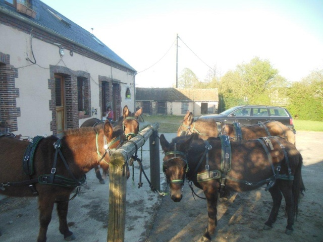 Mon projet d'attelage à 4 mules pas à pas ... Dscn1611