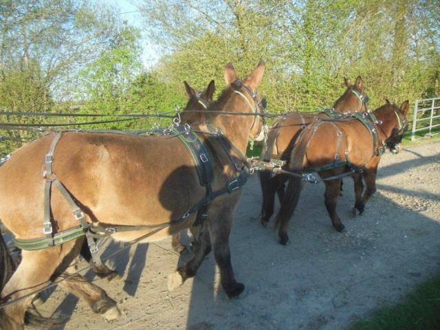 Mon projet d'attelage à 4 mules pas à pas ... Dscn1617