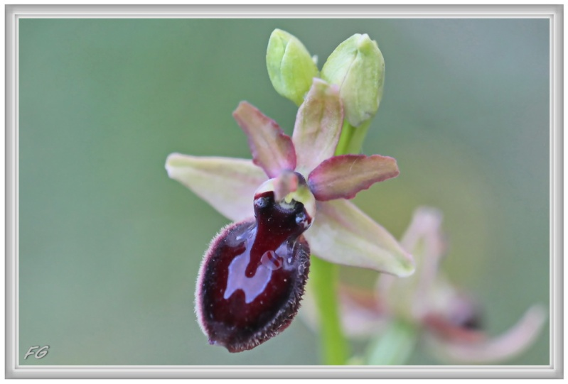 O. magniflora des Corbières occidentales (11)  9_ophr10
