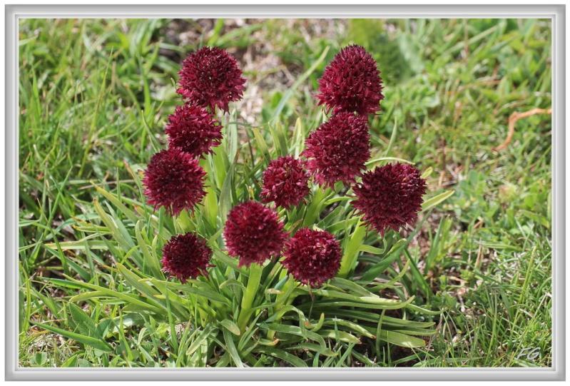 Gymnadenia ( Nigritella ) gabasiana ( Nigritelle de Gabas ) Gymnad10
