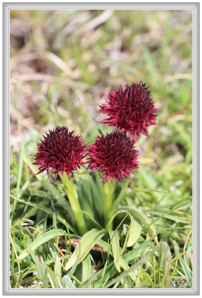 Gymnadenia ( Nigritella ) gabasiana ( Nigritelle de Gabas ) Gymnad11
