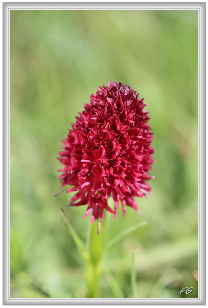 Gymnadenia ( Nigritella ) gabasiana ( Nigritelle de Gabas ) Gymnad15