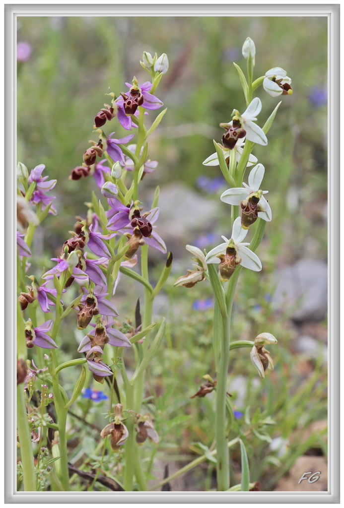Ophrys scolopax ( Ophrys bécasse ) Ophrys29